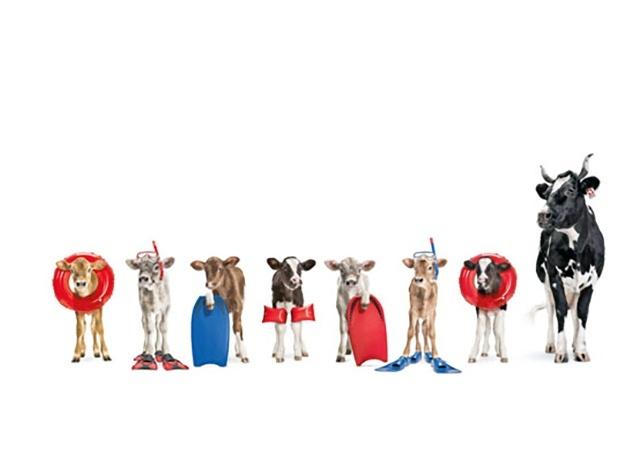 Kühe Plakatkampagne Lovely