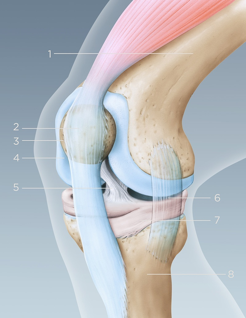 illustration anatomie genou