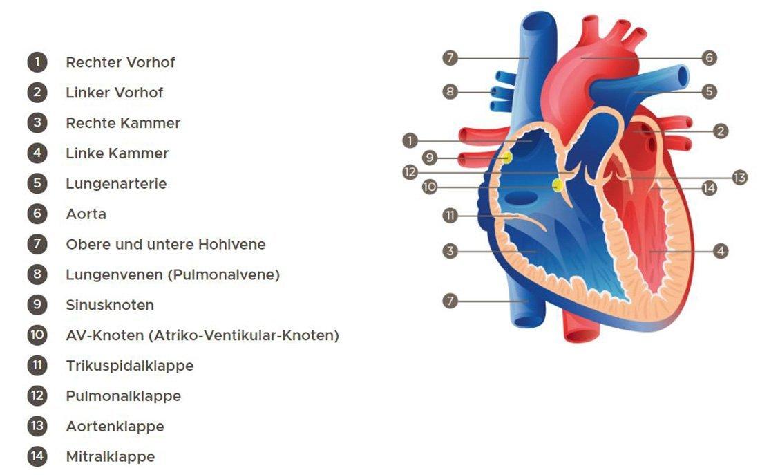 Grafik Herzanatomie